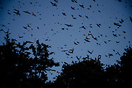 Hundreds of Progne subis, more commonly known as purple martins, fly on Friday, July 19, 2019, in Austin, Texas. [NICK WAGNER/AMERICAN-STATESMAN]