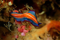 A marine flatworm (pseudoceros sp.) on hydroids.