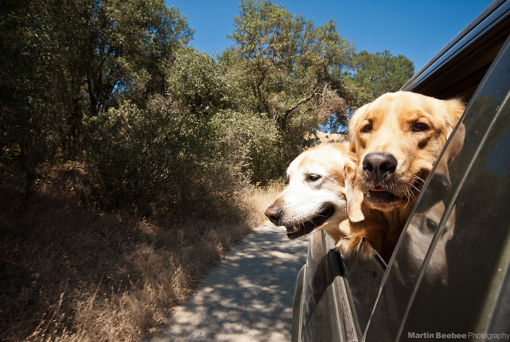 Two dogs (golden retrievers) sticking their heads out of a car window
