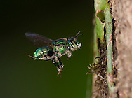 Male orchid bee (Euglossa sp) visiting bait site, Cocobolo Preserve, Panama.
