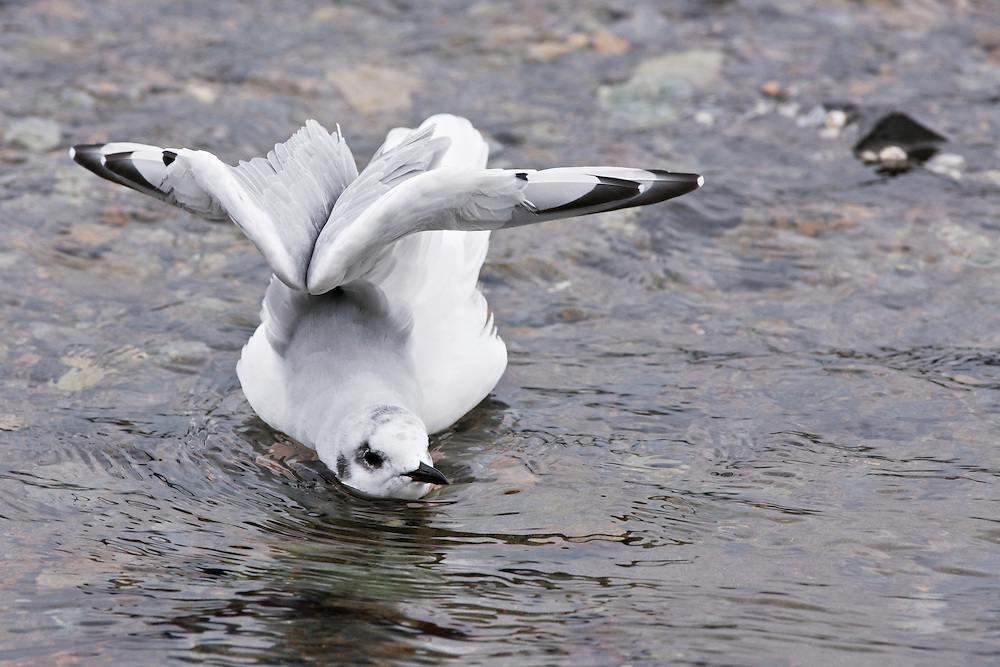 A non-breeding adult Bonaparte's Gull takes a stretch break from feeding on pink salmon eggs in a spawning stream on Admiralty Island in the Tongass National Forest.  Admiralty Island National Monument.  Southeast Alaska. Summer.  Morning.
