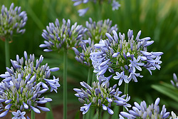 Agapanthus 'Luly'. African lily