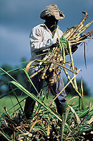 Sugar cane harvest -Martinique (French département d'outre Mer - DOM) - France<br /> French West Indie - Antilles françaises<br /> Caribbean