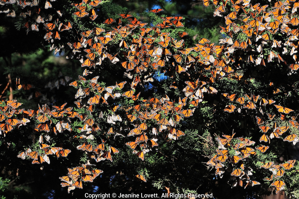 Monarch's overwintering in Santa Cruz tree groves. The upper side of the wings is tawny-orange,  The underside is similar yellow-brown instead of tawny-orange and the white spots are larger