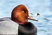 Redhead, Aythya americana, Cheseapeake Bay, Maryland
