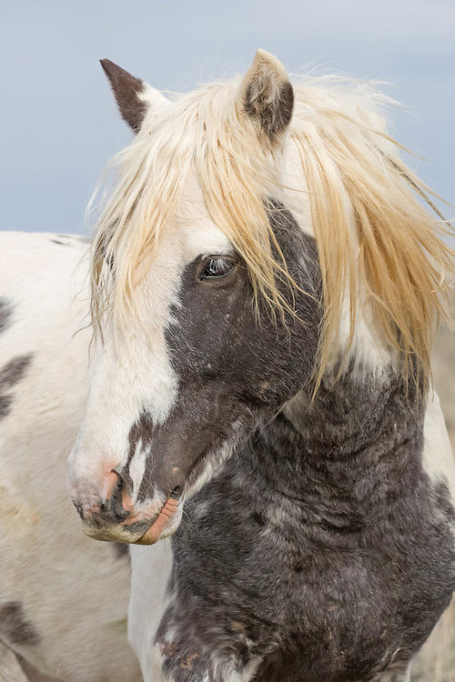 The wild stallion, Thor, has a very unique coloration; he's a grey pinto. Thor's father, Booker Rose, is a grey sabino and his mother Taboo, is a bay tobiano with a left blue eye. Thor is the perfect mixture of his parents coloring, and is one of the most beautiful horses at McCullough Peaks.