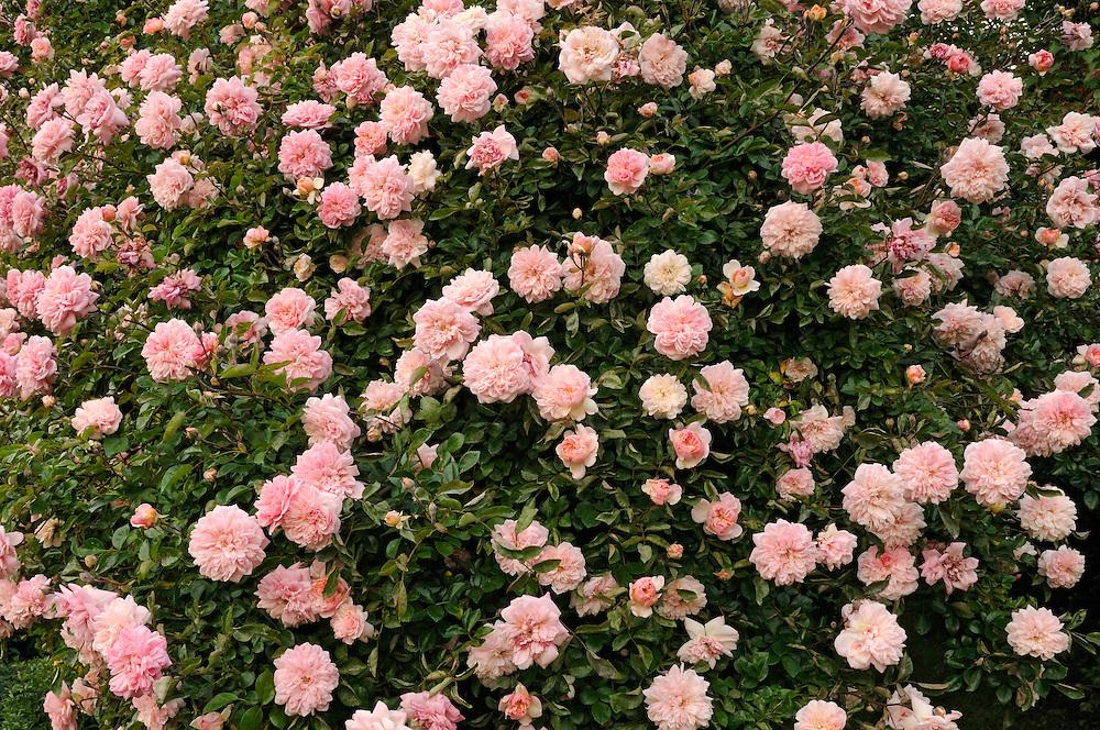 France, Languedoc Roussillon, Gard, Concoules, Jardin du Tomple, jardin remarquable, rosier paul transon