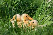 Voorjaar Lente Pasen gele kuikens