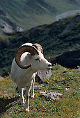 Wildlife: Dall Sheep, Rams