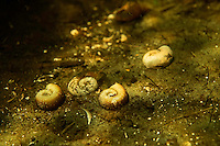 Empty shells from the great ram's horn snail (Planorbarius corneus) laying on the bottom of a small tributary to Danube Delta, Romania.