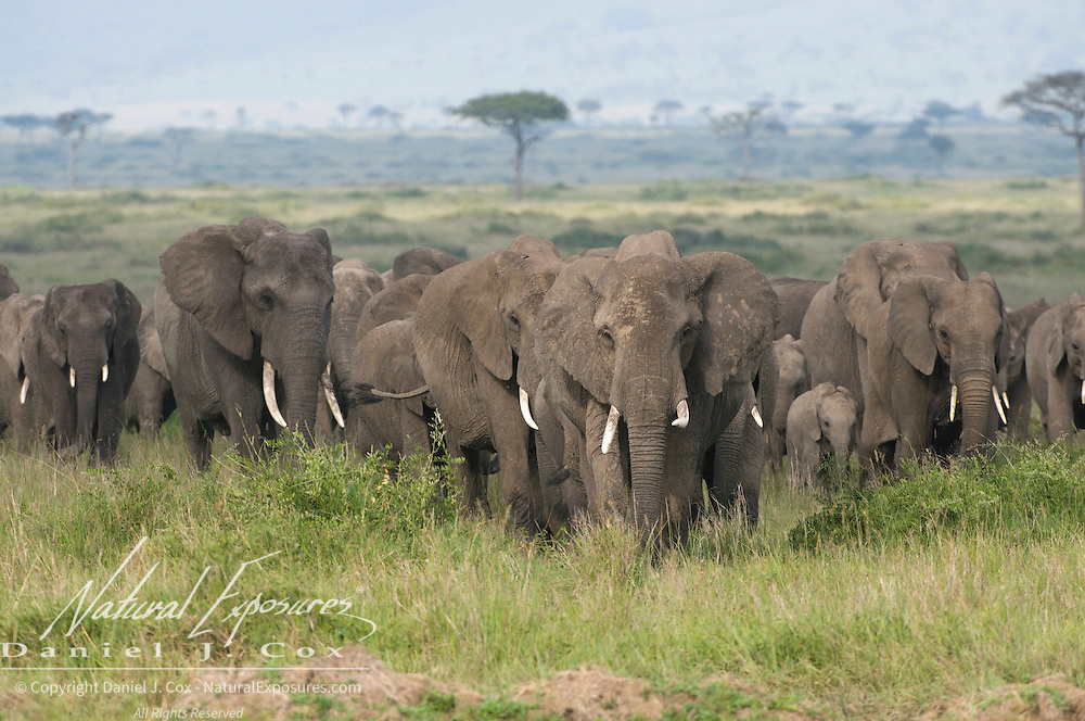 African Elephant (Loxodonta africana) on the Serengeti Plains, Masai Mara National Reserve, Kenya Africa