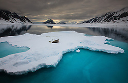 Walrus, Odobenus rosmarus, Spitsbergen, Svlabard