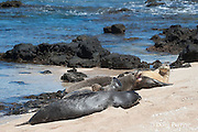Hawaiian monk seals, Monachus schauinslandi, Critically Endangered endemic species;  a 20+-year-old male (R306) guarding a 4-year-old female (RB16), right rear, barks at an encroaching 5 year old male (RO36), while another female (R318) rests in the foreground; west end of Molokai, Hawaii