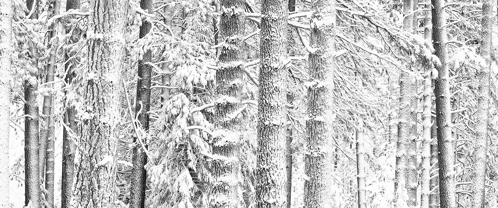 Yellow Pines in snow, Yosemite Valley, Yosemite National Park, California