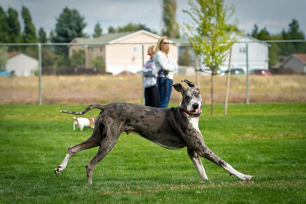 A Great Dane runs through the grass Monday, Sept. 6, 2010 at the Central Bark dog park in Coeur d'Alene, Idaho.