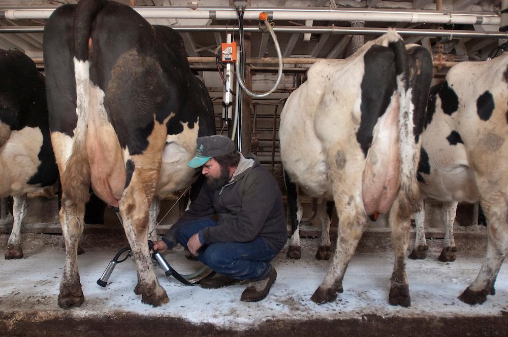 Farmer milking cows