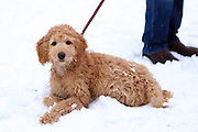 This is Cody, a young cockerpoo (poodle crossed with a cocker spaniel), lying in the snow