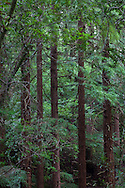 A stand of redwoods grows straight and tall, Muir Woods National Monument