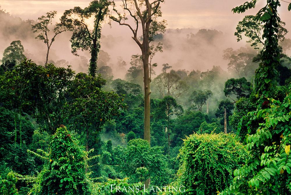 Misty rainforest, Danum Valley, Sabah, Borneo