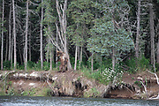 A brown bear leaves a scent marking on a tree in Katmai National Park, Alaska