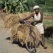 India. Bihar. Motihari. A man carries his rice harvest on his bicycle.