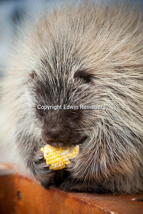 Porcupine (Hystricomorph Hystricidae) eating corn