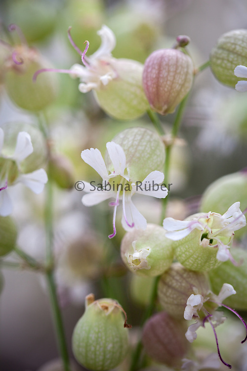 Silene vulgaris - bladder campion