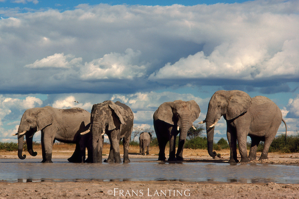 African elephants at waterhole, Loxodonta africana, Chobe National Park, Botswana
