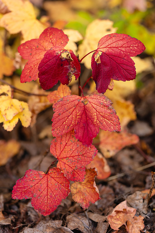 Autumn foliage of High-Bush Cranberry (Viburnum edule) in Southcentral Alaska. Afternoon.