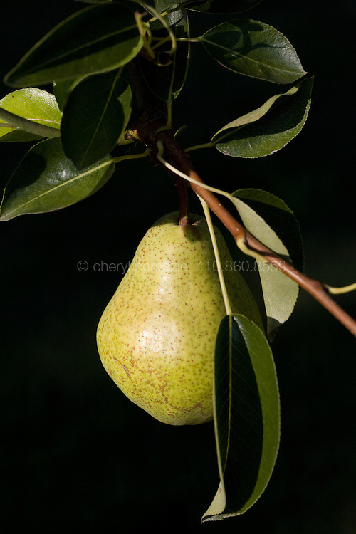 Vertical image of anjou pear.