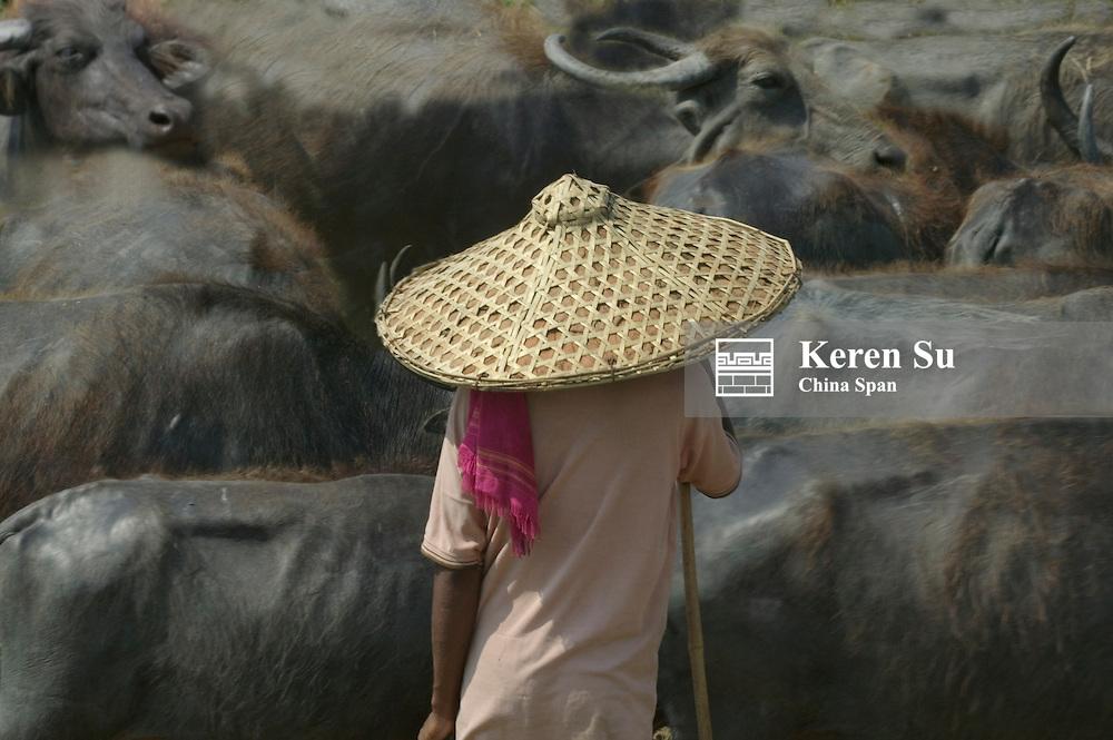 Farmer herding water buffaloes, Orissa, India