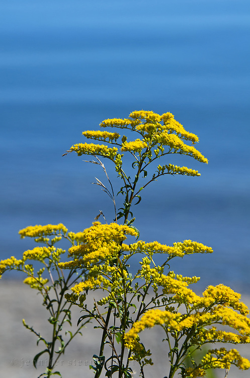 Goldenrod flowers with the ocean in the background.
