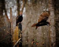 Turkey Vulture on a Post across the Street. Image taken with a Fuji X-T3 camera and 200 mm f/2 OIS telephoto lens (ISO 640, 200 mm, f/2, 1/250 sec).