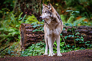 The Gray Wolf (Canis lupus), also known as the timber wolf, western wolf, or simply, wolf, is a canine native to the wilderness and remote areas of North America. It is the largest member of its family, with males averaging 95 – 99 lb and females 79 – 85 lb. Like the red wolf, it is distinguished from other Canisspecies by its larger size and less pointed features, particularly on the ears and muzzle. Its winter fur is long and bushy and predominantly a mottled gray in color, although nearly pure white, red, and brown to black also occur.