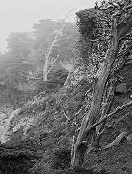 Twisted Trees Along Misty Cliff in Northern California