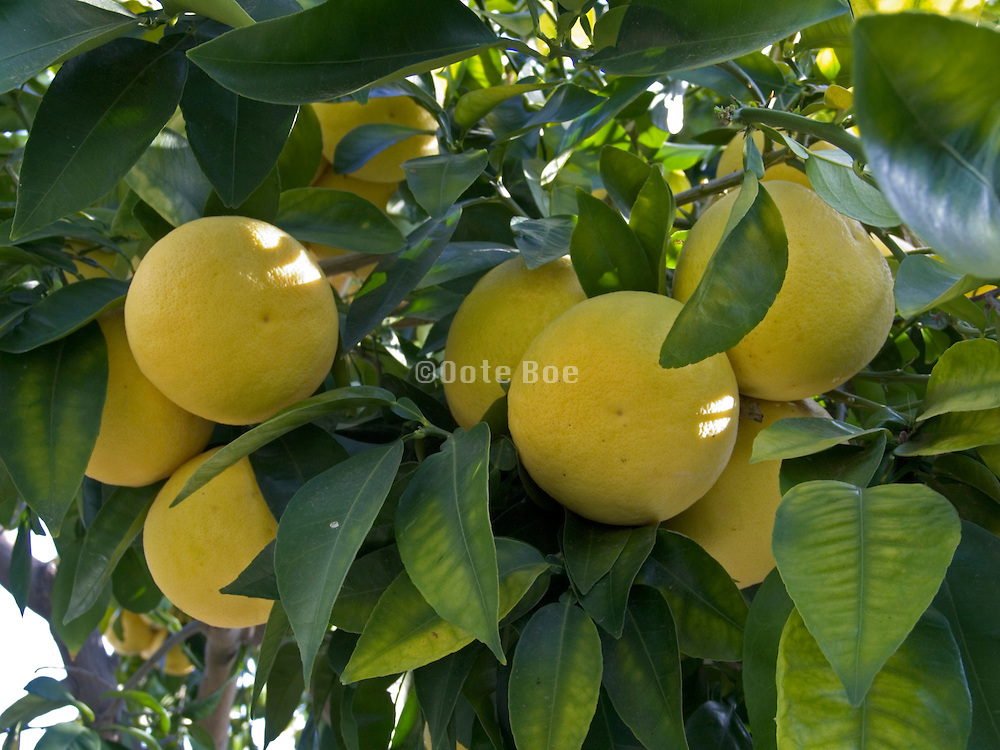 grapefruits hanging on a branch