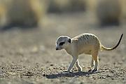 Erdmännchen (Suricata suricatta) sind tagaktive, sozial lebende Schleichkatzen. Diese Verwandten der Mangusten leben in Gruppen von durchschnittlich 10 ( bis zu 50) Individuen und suchen das mit bis zu 1000 Eingängen zum unterirdischen Gangsystem durchlöcherte Territorium nach Insekten und Reptilien ab.  |  Suricate or Slender-tailed Meerkat (Suricata suricatta)