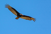 Turkey vulture soaring on the thermals