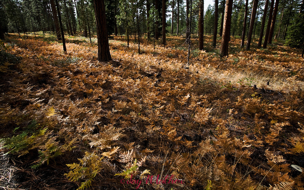 Fall colors on the forest floor near Camp Sherman, Oregon