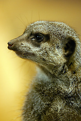 11 July 2010: Meerkat.  Miller Park Zoo, Bloomington Illinois (Photo by Alan Look)