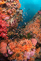 Coral Bommies Covered in Vibrant Soft Corals and Reef Fishes..Shot in Indonesia..