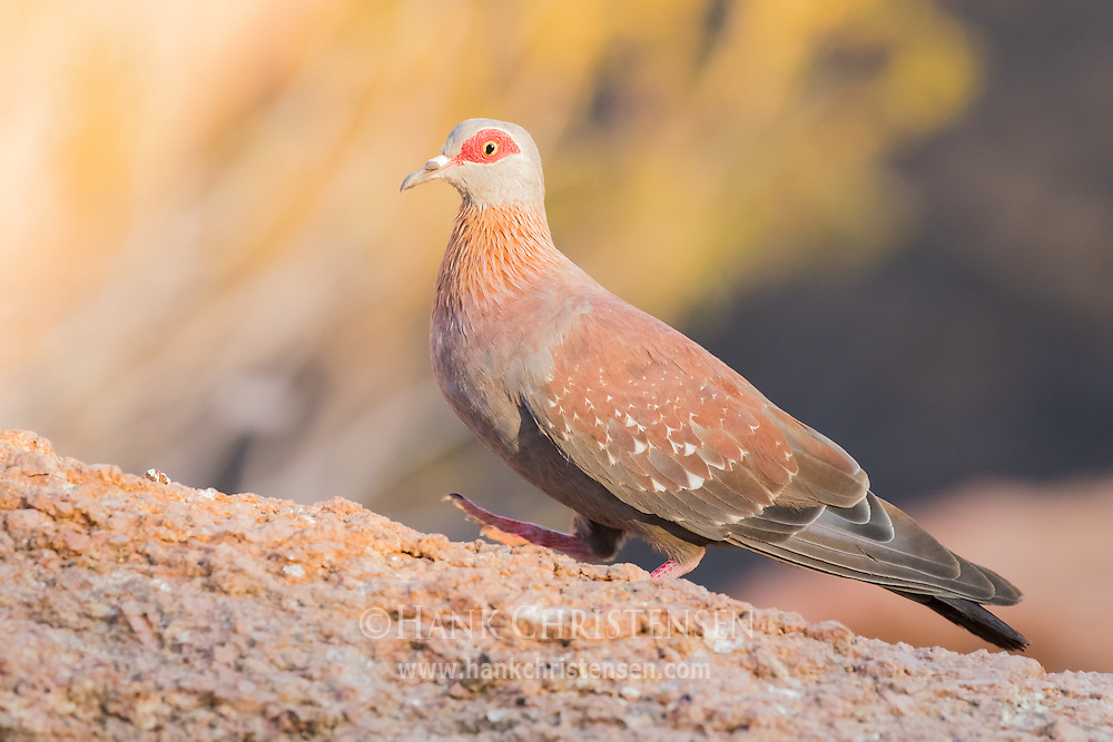 A speckled pigeon stands on a granite outcropping, Damaraland, Namibia.