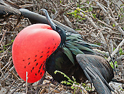 Great Frigatebird (Fregata minor) on Isla Genovesa (or Tower Island), Ecuador, South America.  Frigatebirds, which are in the family Fregatidae, are related to pelicans. The Great Frigatebird is a lightly built large seabird up to 105 cm long with predominantly black plumage. The female is larger than the adult male and has a white throat and breast and a red eye ring. The male's scapular (shoulder) feathers have a purple-green sheen. In breeding season, the male distends a striking red gular sac. The species feeds on fish taken in flight from the ocean's surface (mostly flyingfish), and pirates food from other birds less frequently than other frigatebirds. They feed in pelagic waters within 80 km (50 mi) of their breeding colony or roosting areas. Fregata minor is known as the Iwa in Hawaii. The Great Frigatebird measures  85–105 cm (33.5–41.5 in) with long pointed wings and long forked tails. Weighing between 1–1.8 kg (2.2–4 pounds), they have the highest ratio of wing area to body mass of any bird. Juveniles are black with a rust-tinged white face, head and throat. Major nesting populations of Great Frigatebirds are found in the Pacific (including Galapagos Islands) and Indian Oceans, as well as a population in the South Atlantic. A single egg is laid each breeding season. The duration of parental care in frigatebirds is the longest of any bird.