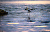 """A blue heron puts his """"landing gear"""" down upon approach to Indian Island in Meredith Bay Tuesday evening.  (Karen Bobotas/for the Laconia Daily Sun)"""
