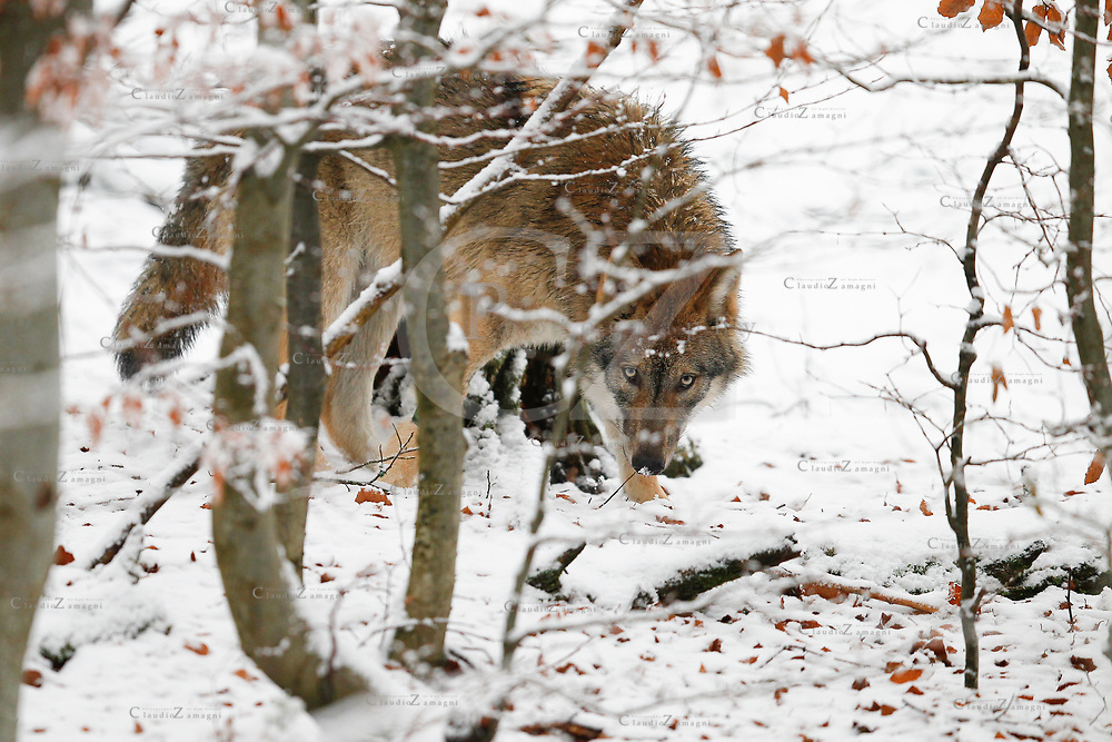 European Wolf in the snow, Bavarian National Park, Germany. Captive<br />