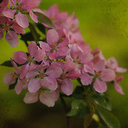 """""""On Green Brocade""""<br /> <br /> Pink crab-apple blossoms with a green brocade background!"""