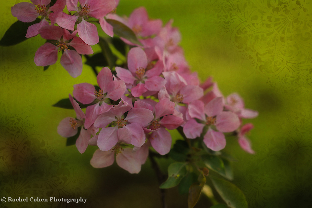 &quot;On Green Brocade&quot;<br /> <br /> Pink crab-apple blossoms with a green brocade background!