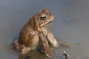 American Toad; Bufo americanus; male calling; PA, Philadelphia, Schuylkill Center for Environmental Education