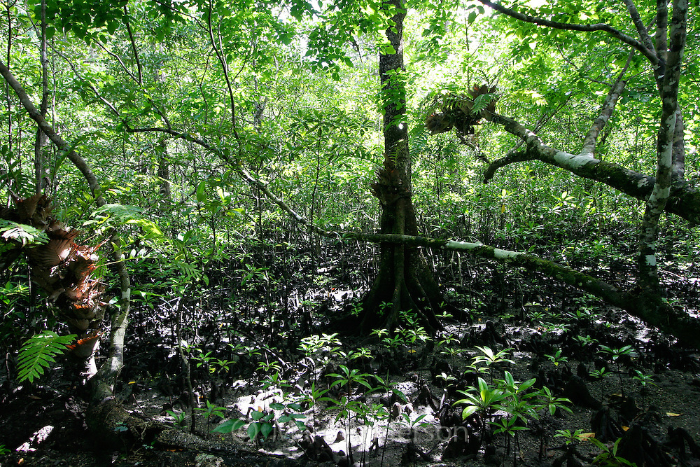 A mangrove forest in Palawan, Philippines