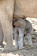 Kenya, Samburu National Reserve, Kenya, female African Elephant nurses young offspring